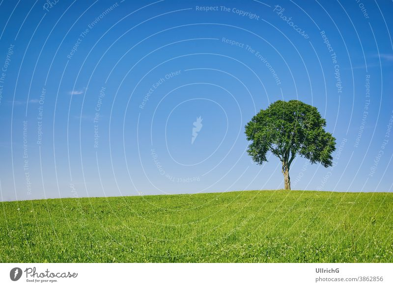 Single tree on a hill in a rural area in summer. landscape single rural areal countryside idyllic scenery meadow grassland season sunny seasonal weather remote