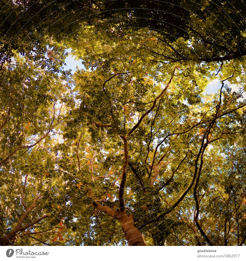 View from below in tree tops Autumn Tree Deciduous forest hardwood forests Treetop Row of trees Leaf Forest woodland Treetops Mixed forest Clearing