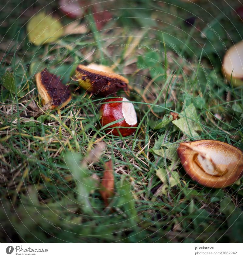 Chestnut in the grass Autumn Autumnal Horse chestnut Autumn leaves chestnuts Chestnut tree Grass chestnut trees blade of grass Meadow Dandelion Early fall