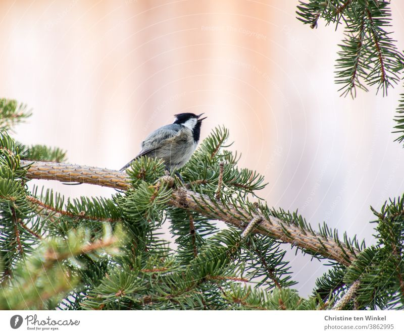 Fir tit sits on the branch of a fir tree and sings Fir-tree tit Parus Ater Sing songbird Wild bird Bird Nature Animal Small 1 Animal portrait Wild animal
