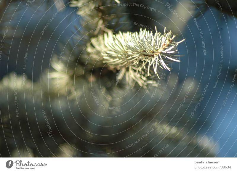 conifer Coniferous trees Tree Winter Ice Twig depth blur Fir needle
