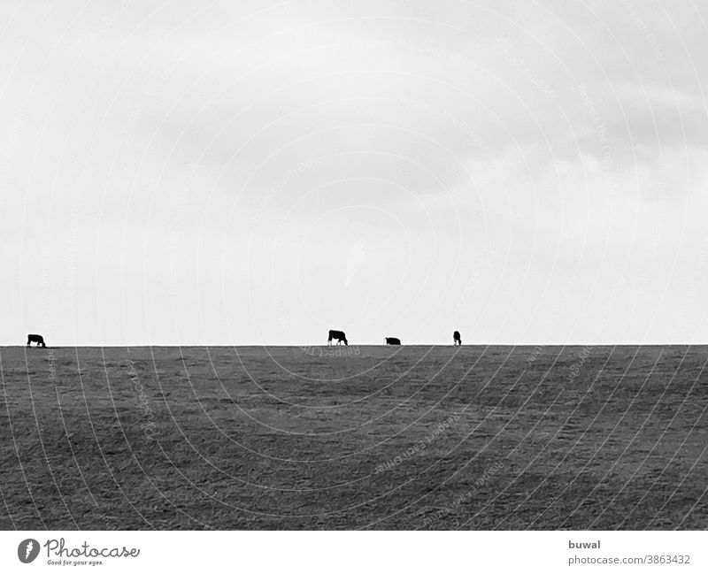 Four cows (cattle) graze on a hilltop Willow tree Horizon Clouds Meadow Nature Herd Agriculture Green Autumn Environment Milk animals Farm animals