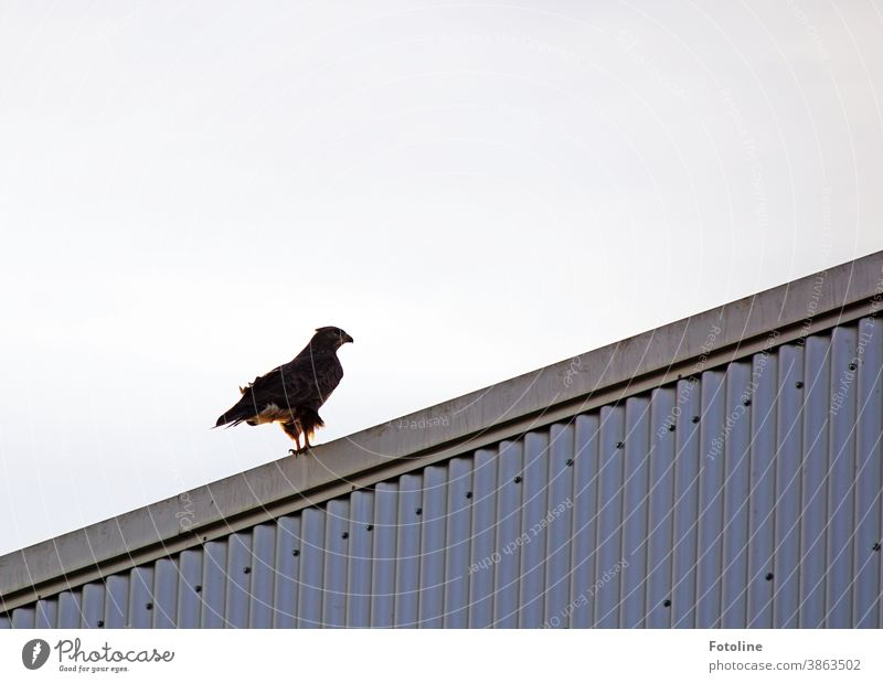 After Bella and I took a departure too early, we discovered this beautiful buzzard. Here he sits on a metal roof. Hawk Bird Bird of prey Animal Nature