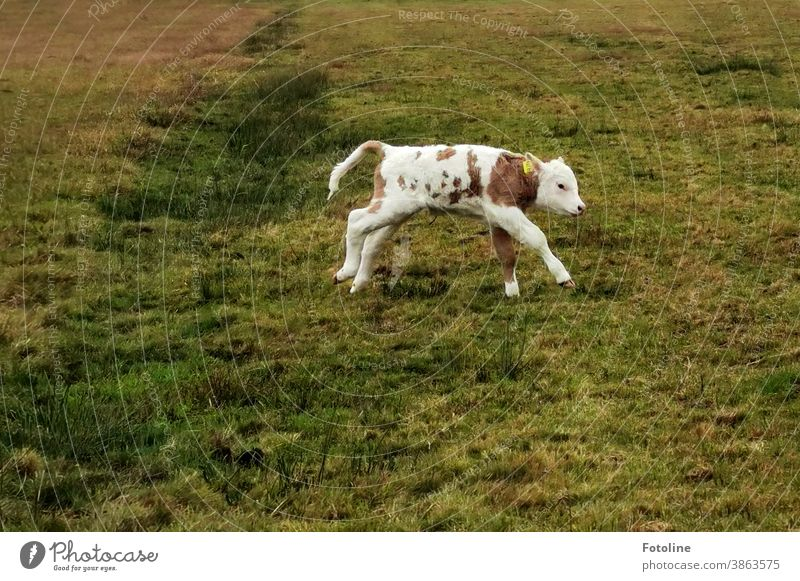 Mad cow? A little calf is running around a meadow. Calf Cow Animal Exterior shot Willow tree Meadow Nature Farm animal Colour photo Cattle Deserted Agriculture