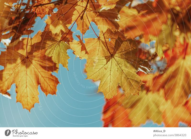 Autumn colourful maple leaves against a blue sky backdrop wallpapers autumnal November Down Image (representation) surface golden sunny textured Design day
