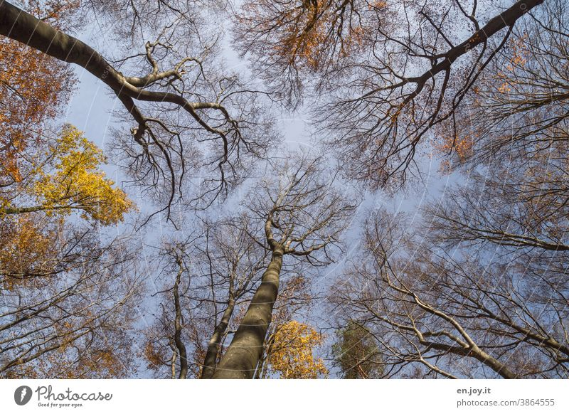 Autumn forest with few foliage but with bare branches in frog's eye view under a blue sky Automn wood Worm's-eye view trees Forest Beech wood Deciduous tree Sky