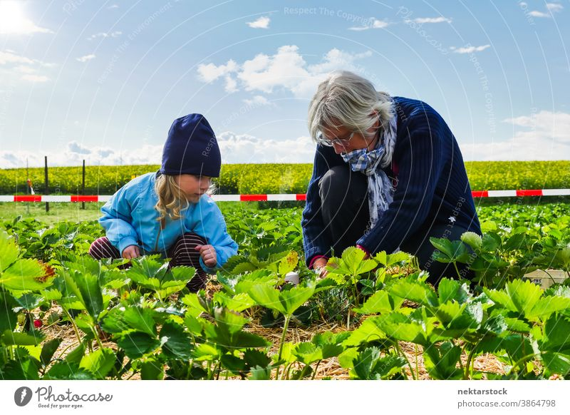 Child and Grandmother Picking Crops in Agricultural Field woman child grandmother field agriculture crop picking greens caucasian full length food harvest ripe