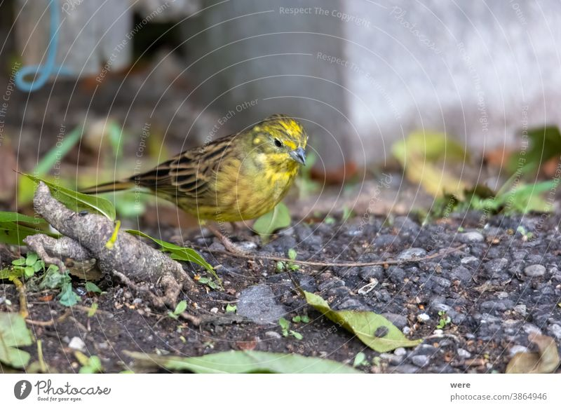 Yellowhammer sitting on the forest floor looking for food Emberitsa Citrinella winter bird Animal Bird Copy Space Cuddly cuddly soft feathers Stick Fly Food