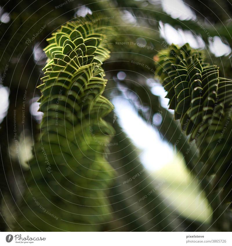 Araucaria araucana - Chilean decorative fir araucária ornamental fir South America Tree Treetop Fir tree Fir branch Fir needle fir tree firs fir green trees