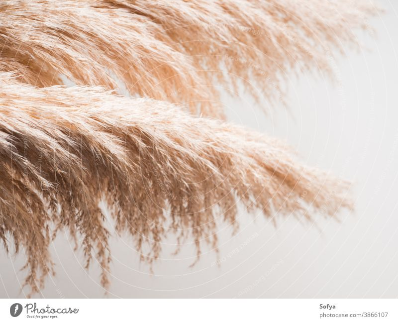 Trendy botanical background with pampas grass plant interior boho dried minimal design floral nature neutral autumn home branch color reed feather minimalist