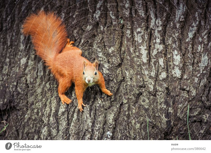 regular Environment Nature Tree Animal Wild animal 1 To hold on Hang Small Funny Natural Cute Brown Red Joy Curiosity Tree trunk Tree bark Pelt Squirrel Rodent