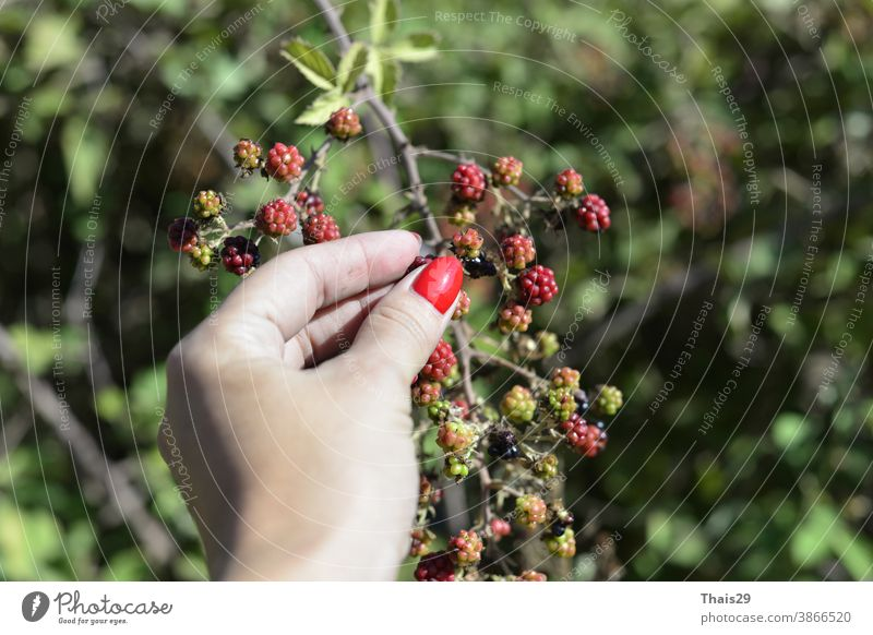 wild red berries in women hand berry nature fruit tree green plant branch food ripe garden currant leaf leaves bush autumn summer healthy flower rowan fresh
