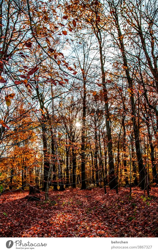 LOVE THE FOREST Autumnal landscape Autumnal weather leaves Automn wood Sunbeam Idyll Blue sky Sky autumn walk Autumnal colours autumn mood Seasons Autumn leaves