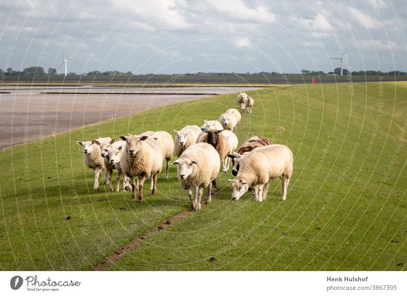 Sheep on the dike near the Wadden Sea agriculture animal beautiful blue cattle coast countryside dutch dyke europe farm farming field flock flock of sheep grass
