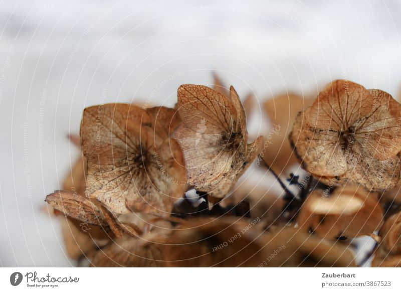 Faded hydrangea in light brown Hydrangea Blossom Brown Light brown Autumn transient fade Peace End petals veins