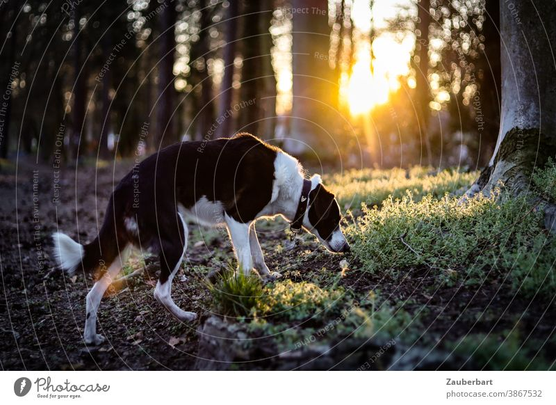 Dog sniffs in the forest, back light and golden sun in the evening Forest Back-light Sun Gold tree trunks Moss black-white Crossbreed pretty Animal Pet Nature
