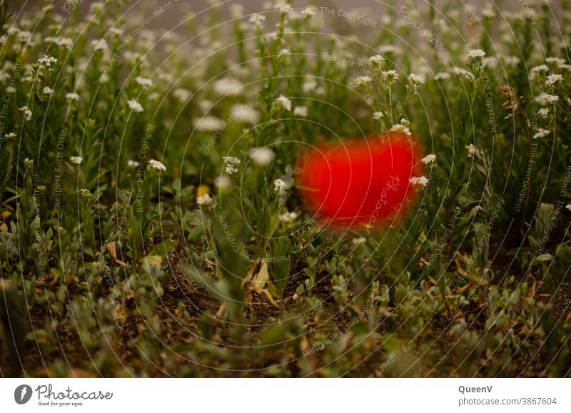 White flowers in background with blurred poppy in foreground Poppy poppy flower Red Plant plants Nature City life urban nature Summer Poppy blossom Blossom