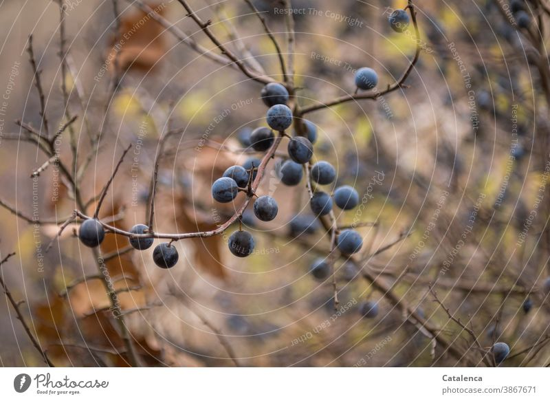 The sloes are ripe Nature Plant shrub Blackthorn blackthorn Berries Branch edible healing power Autumn Blue Brown purple