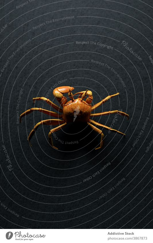 Brown crab crawling on black background spider animal fauna wild nature illustration 3d wildlife environment design creature specie shape brown realistic exotic