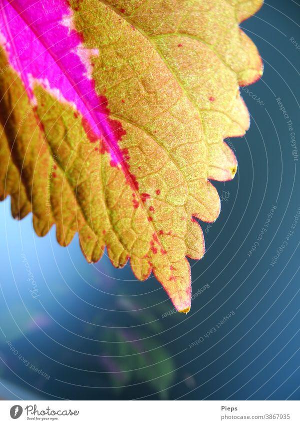 stinging nettle leaf Houseplant Pattern colourfulness reflection shrub Botany Rachis Purple Ornamental plant leaf tip blurriness lime green