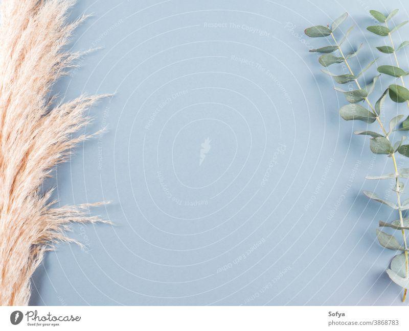 Trendy botanical background with pampas grass plant interior boho eucaliptus dried minimal design floral nature neutral autumn home branch color minimalist blue