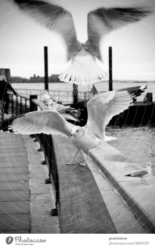 Seagulls on a Manhattan Boardwalk Freedom birds flight Flying New York City Town USA Port City Americas North America American Animal Harbour Animal portrait