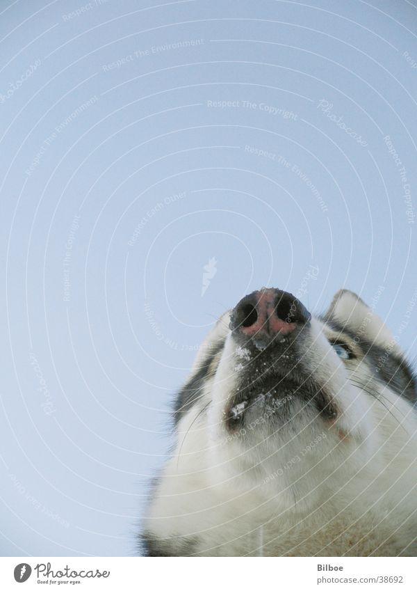 Sky Blue Winter Eyes Snow Dog Pelt Snout Husky