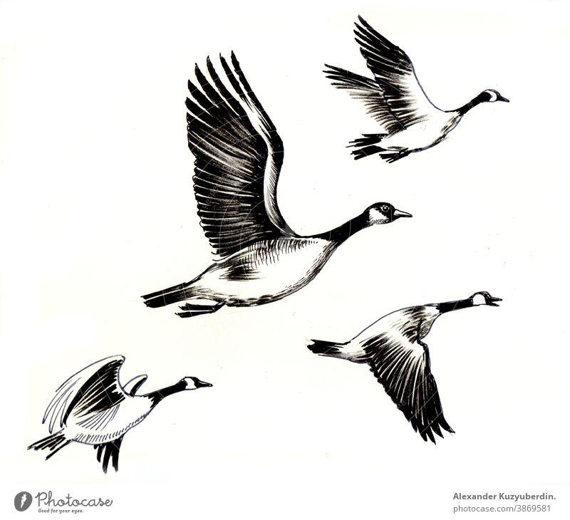 Flying geese birds. Ink black and white drawing goose flying animals nature art artwork background illustration ink sketch