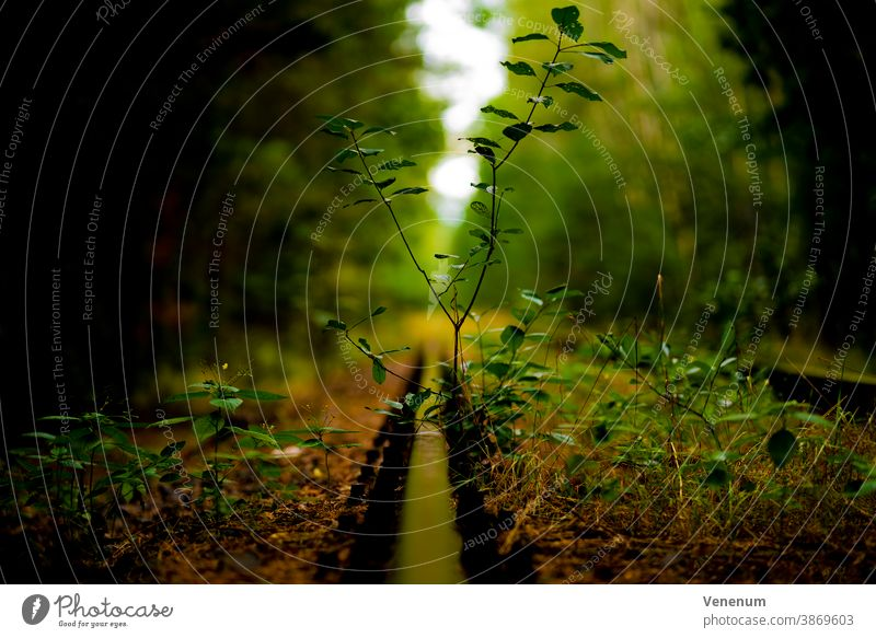 Wild plants in an old disused track bed Track rails railroad rail iron rust railway sleepers Forest woods tree trees