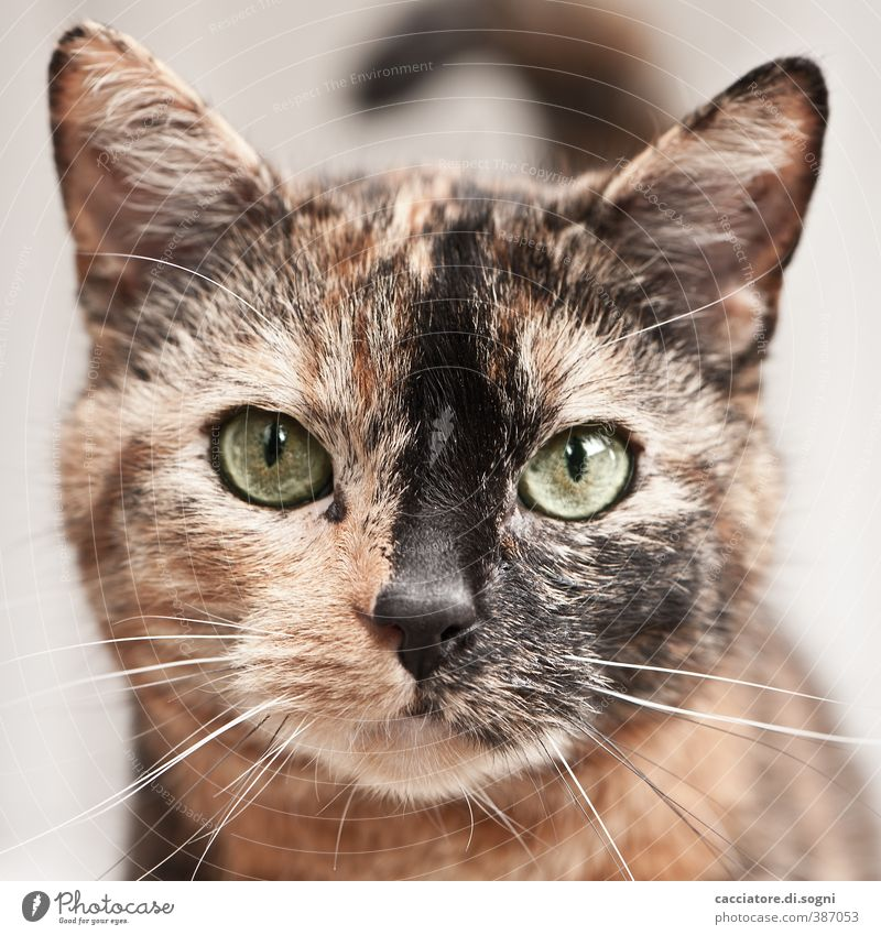 meow Animal Pet Cat 1 Observe Friendliness Beautiful Natural Curiosity Cute Positive Brown Orange Contentment Sympathy Love of animals Serene Patient Calm