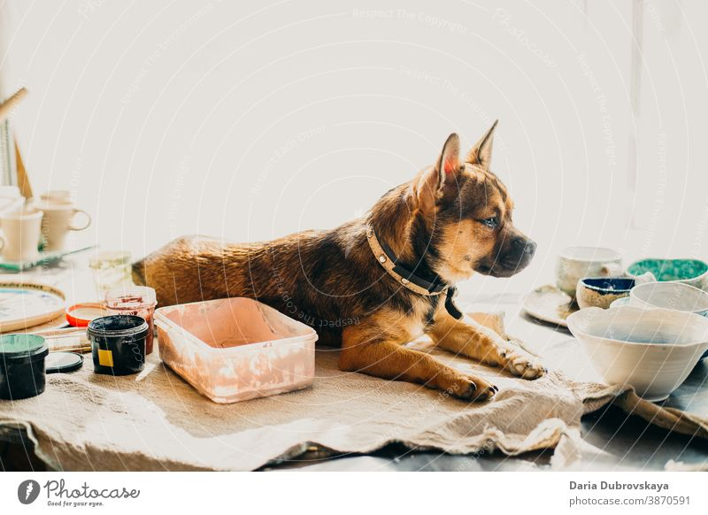 Little brown dog lies on the table pedigree breed portrait canine purebred funny mammal cute young little animal background puppy pet friend domestic happy