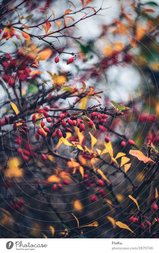Rosehips in a play of colours with the autumn leaves Rose hip Plant Nature shrubby Bushes Branches and twigs Red Fruit Yellow Autumn Autumnal autumn mood