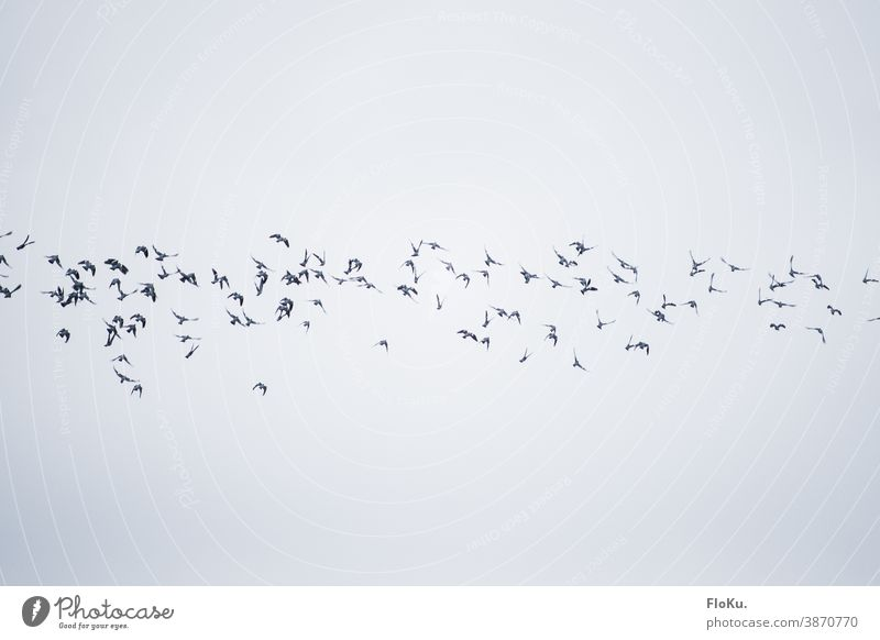 Bird band in the sky birds Flying Autumn Migratory birds Clouds Sky Formation flying Flock of birds Flight of the birds animals Wild animal Exterior shot