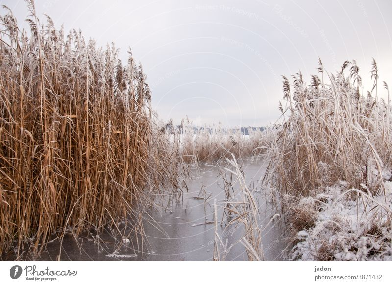 when there was still winter. reed Frost Nature Lake Water Ice Frozen Winter Cold Deserted Snow Freeze Exterior shot Environment White Hoar frost Plant