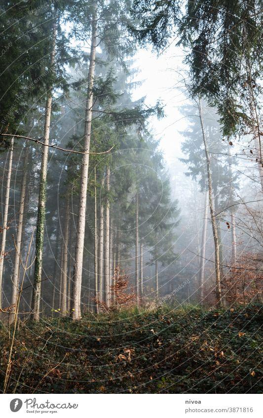 autumn forest Forest Autumn Autumnal Fog fir tree Light Autumn leaves Autumnal colours Nature Tree Exterior shot Colour photo Plant Deserted Landscape