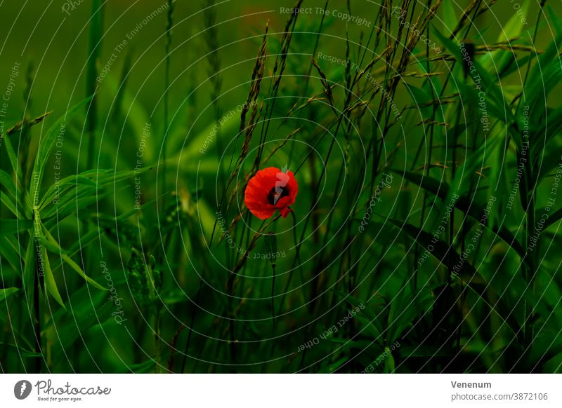 Single poppy flower on the edge of a wheat field Flower flowers nature plant meadow meadows grass poppies blossoms stems leaf leaves eudicotyledons Ranunculales