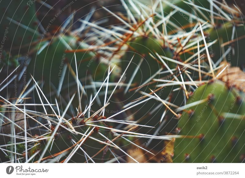 Pointed Cactus prickles peak Thorny Detail Shallow depth of field Contrast Plant Green Colour photo Deserted Nature Close-up Exotic Macro (Extreme close-up) Day