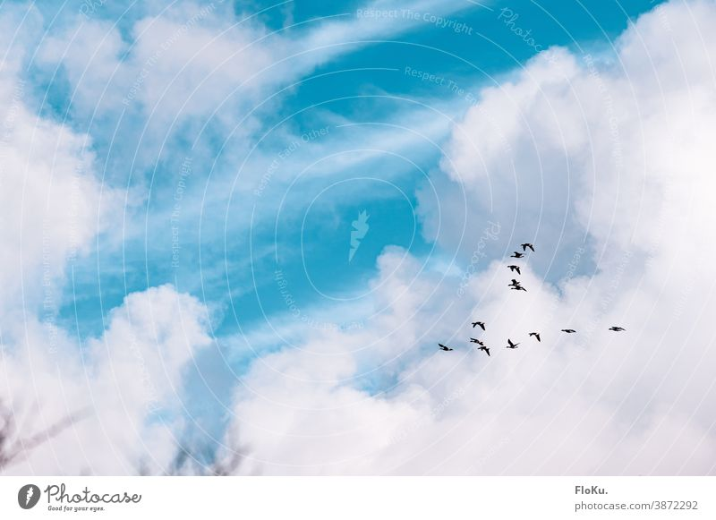 Geese fly south geese Bird birds Flying Autumn Migratory birds Clouds Sky Beautiful weather Formation flying Flock of birds Flight of the birds southbound
