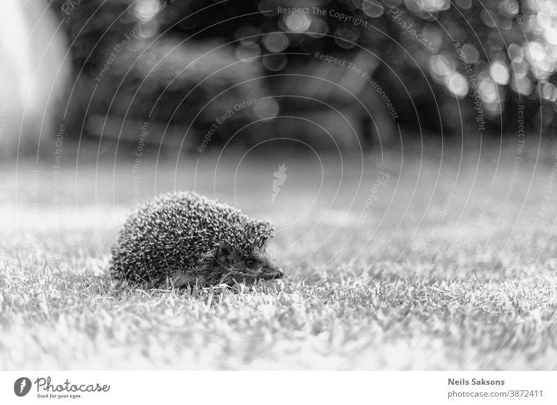 Hedgehog, (Scientific name: Erinaceus europaeus) Wild, native, European hedgehog in natural garden habitat animal background closeup cute ecology european face