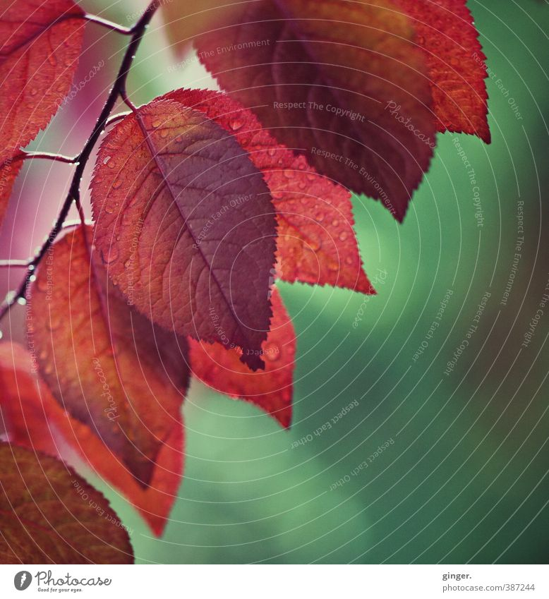 A breath of autumn in spring Environment Nature Plant Summer Beautiful weather Bushes Leaf Growth Damp Wet Translucent Green Red serrated Rachis Twig Multiple