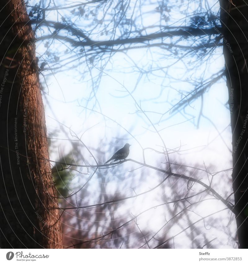 a bird in resonance with the November light Ambience Blackbird Bird Flare Longing tranquillity certain light Silhouette Leafless November picture
