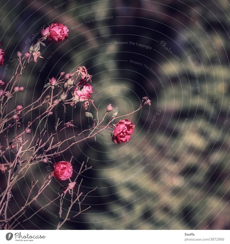 December Roses roses red roses Red dark red green-grey Limp Faded withered Sparse melancholically sad pink Transience December light Leafless rosesbush snowless