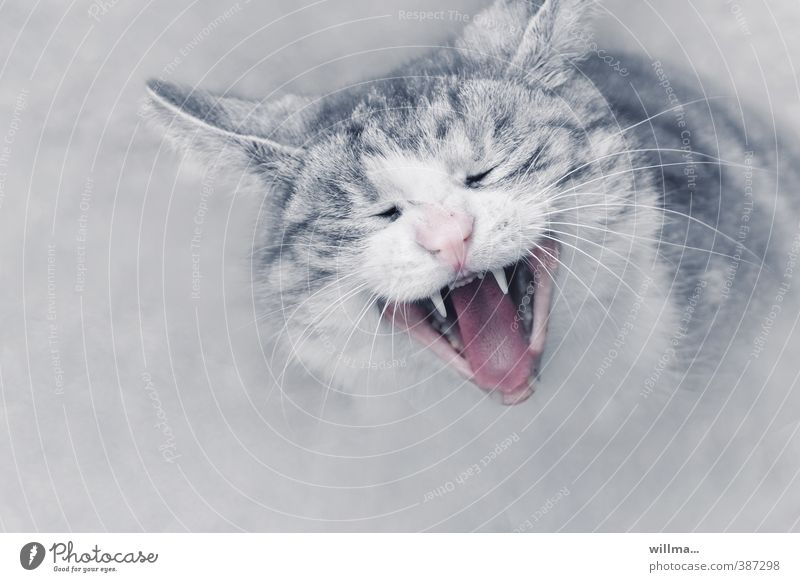 Portrait of a cat Domestic cat Pet Cat Animal face Gray Pink White Yawn Snarl Show your teeth Cat's head scratch brush Boredom Whisker Fatigue Set of teeth