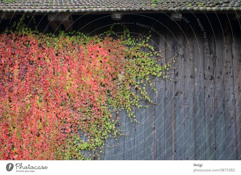 colour combination | green and red coloured wild wine on grey wooden wall Virginia Creeper Plant Wooden wall Facade Roof Green facade Autumn Autumnal colours