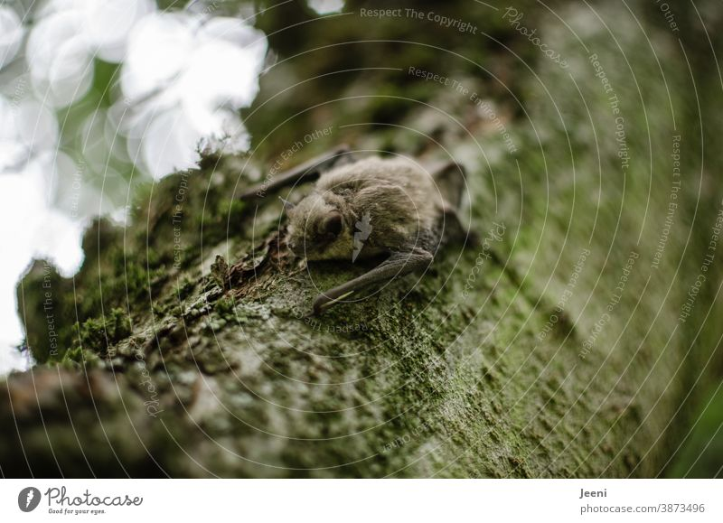 Little bat sits on a branch during the day Pelt Animal Wild animal Animal portrait Animal face Close-up Colour photo Branch Tree Flying Mammal flight dog
