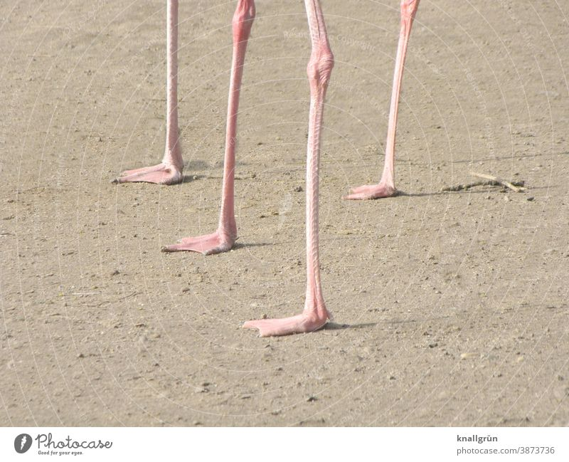 Four Flamingo legs Bird Animal Pink Wild animal 4 Nature Day Exotic Legs Knee Joint Exterior shot Deserted Group of animals Zoo Animal portrait Sand Brown Beige