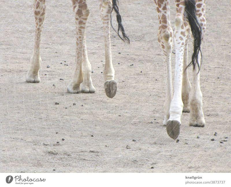 Eight giraffe legs Giraffe Animal Legs 8 Hooves tail tip of the tail Zoo Africa Mammal Safari Wild animal world Vacation & Travel African Exterior shot Nature