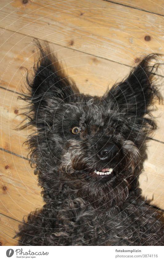 Portrait of a black dog cougar Dog Pet Animal portrait Animal face Love of animals Pelt Snout Nose Dog's snout Dog's head Watchdog Purebred dog Puppydog eyes