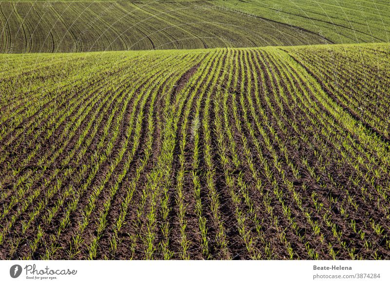 Field with winter sowing Sowing Foliage plant Agriculture Landscape Exterior shot Growth Furrow Nature Earth Plant Colour photo Day Deserted Agricultural crop