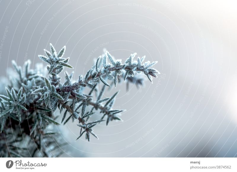 Juniper with ice decoration Plant Uniqueness Nature Point Dark Thin Thorny Colour photo Subdued colour Morning Frozen pointy Authentic chill Frost naturally